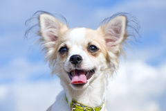 Happy Chihuahua close-up against blue cloudy sky Royalty Free Stock Images