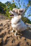 Happy Chihuahua dog close-up on summer beach Royalty Free Stock Images