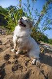 Happy Chihuahua dog enjoying sun Royalty Free Stock Photography