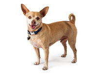 Happy Chihuahua Dog Royalty Free Stock Photos