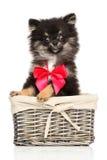 Happy Chihuahua dog Stock Photography