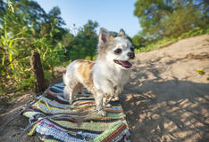 Happy Chihuahua dog on sunny summer background Stock Images