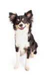 Happy Chihuahua Mixed Breed Dog Sitting Stock Photo