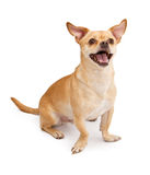 Happy Chihuahua and Pug Mix Dog Smiling Royalty Free Stock Photos