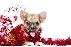 Happy Chihuahua puppy in frame of shining tinsel Stock Photos