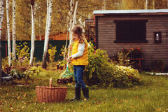 Happy child girl playing little gardener in autumn and picking leaves into basket. Seasonal garden work. Backyard cleaning stock images