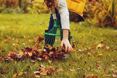 Happy child girl playing little gardener in autumn and picking leaves into basket. Seasonal garden work. stock image
