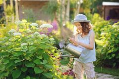 Happy child playing little gardener and watering hydrangea bush in sunny summer garden. Little helper concept. Kids spending summer vacation in countryside royalty free stock photo