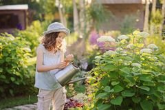Happy child playing little gardener and watering hydrangea bush in sunny summer garden, little helper concept. Kids spending summer vacation in countryside stock photography