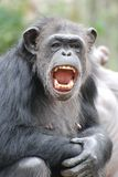 Happy chimp Stock Image