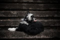 Happy Chinese Crested Dog lying on the stone stairs royalty free stock photos