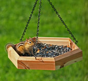 Happy Chipmunk in Birdfeeder. Cute Chipmunk sitting in hanging birdfeeder Royalty Free Stock Photos