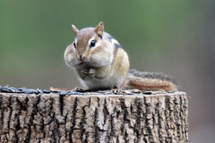 Chubby Chipmunk Royalty Free Stock Photo