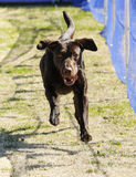 Happy chocolate lab chasing a lure. Chocolate Labrador retriever chasing a lure at the park Stock Photos