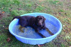 Happy wet chocolate lab in pool Stock Photo