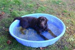 Happy wet chocolate lab in pool stock photo