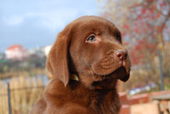 Happy chocolate labrador puppy portrait Stock Photos