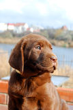 Happy chocolate labrador puppy portrait Royalty Free Stock Photography