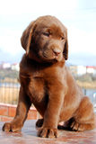 Happy chocolate labrador puppy portrait Royalty Free Stock Photo