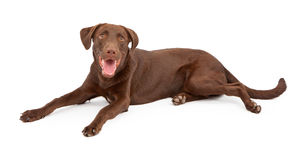 Happy Chocolate Labrador Retriever Puppy Royalty Free Stock Photos