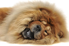 Happy chow chow lying on the ground in the studio Royalty Free Stock Photography