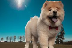 Happy chow chow puppy dog wearing red bowtie is standing royalty free stock photography