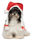 Happy Christmas havanese dog royalty free stock images