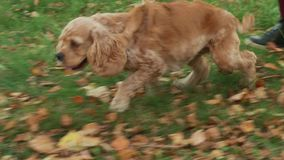 Happy cocker spaniel running on falling foliage in autumn park. Cute dog running on lawn at walk together female owner