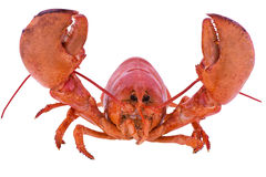 Happy cooked lobster Royalty Free Stock Image