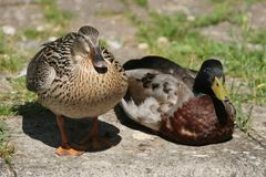 Happy couple. Pair of ducks on the river bank Royalty Free Stock Photo