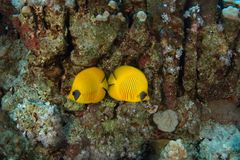 Happy couple of butterfly fish - Red Sea. This underwater picture was taken on the St John's reef off Egypt in the Red Sea Stock Photos