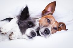 Couple of dogs in love in bed. Happy couple of dogs resting  and hugging eachother under the blanket in bed, looking tired and sleepy Royalty Free Stock Photo