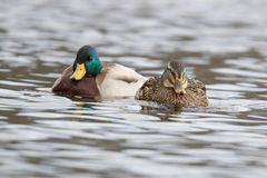 The Happy Couple. A couple of mallard ducks (Anas platyrhynchos) swimming together on a lake in winter Royalty Free Stock Photos