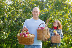 Happy  couple picks apples Stock Photography