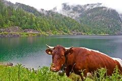 Happy cow. Vorderer Gosausee lake at Gosau, Austria Royalty Free Stock Photo