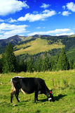 Happy cow. Cow in a pastoral environment Stock Image