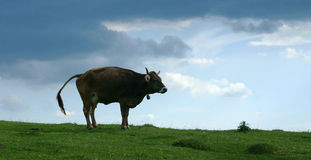 Happy cow. Landscape of a graze under heavy clouds with a cow in a funny position stock photos