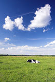 Happy cow. On green field Stock Images