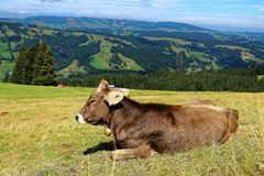Happy cow in alpine pasture of Allgau Alps. Cow lying in alpine pasture at a sunny day in summer. Traditional Bavarian cattle farming in Allgau Alps, Germany Royalty Free Stock Photos