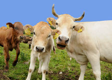 Happy cow and calf Royalty Free Stock Image