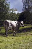 Happy Cow in a green field stock image