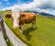 Happy cow in the mountains Royalty Free Stock Photography