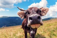 Happy cow, pasture Royalty Free Stock Images