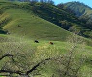 Happy cows. Happy California cows feeding on a green grassy hillside Royalty Free Stock Photography