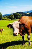Happy cows on alpine meadow Royalty Free Stock Photo