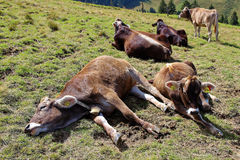 Happy cows in alpine pasture. Cows relaxing on alpine pasture at a sunny day in summer. Traditional Bavarian cattle farming Royalty Free Stock Images