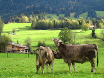 Happy cows countryside. Happy cows in green nature - cattle farming in Bavaria (Allgäu, Germany). Fall scenery Royalty Free Stock Images