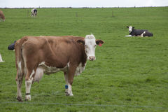Happy cows Stock Images