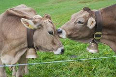 Happy cows in Switzerland. kiss stock images