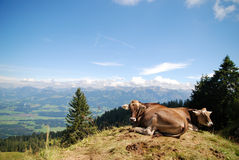 Happy cows on the top of a mountain Stock Image